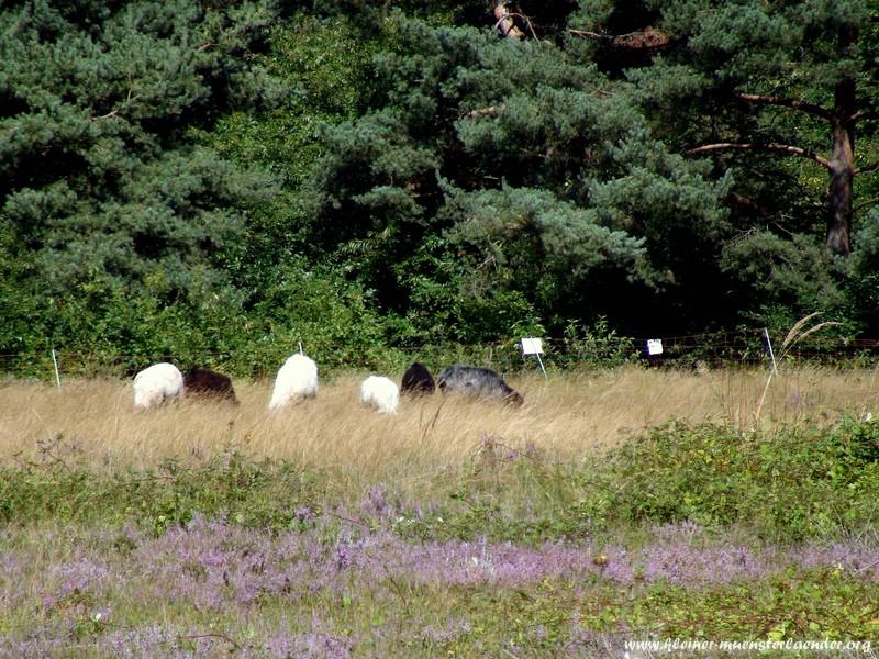Heidelandschaft bei Waldacker