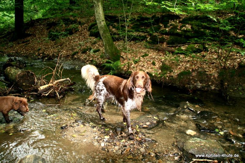 Hunde im Bach