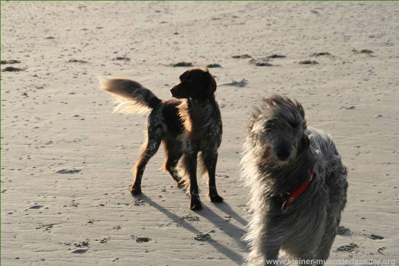 Deerhound Lotte
