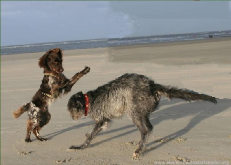 Deerhound Lotte2