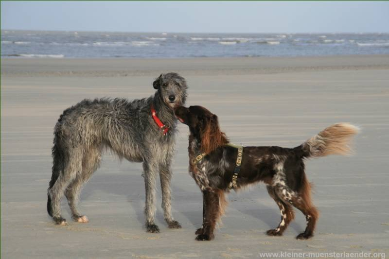 Deerhound Lotte4