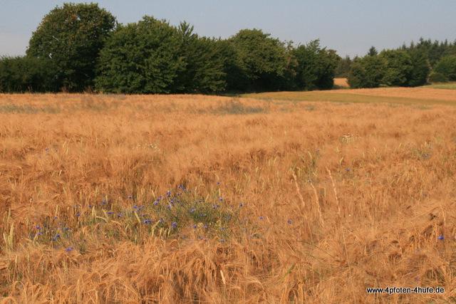 Gerstenfeld mit Kornblumen